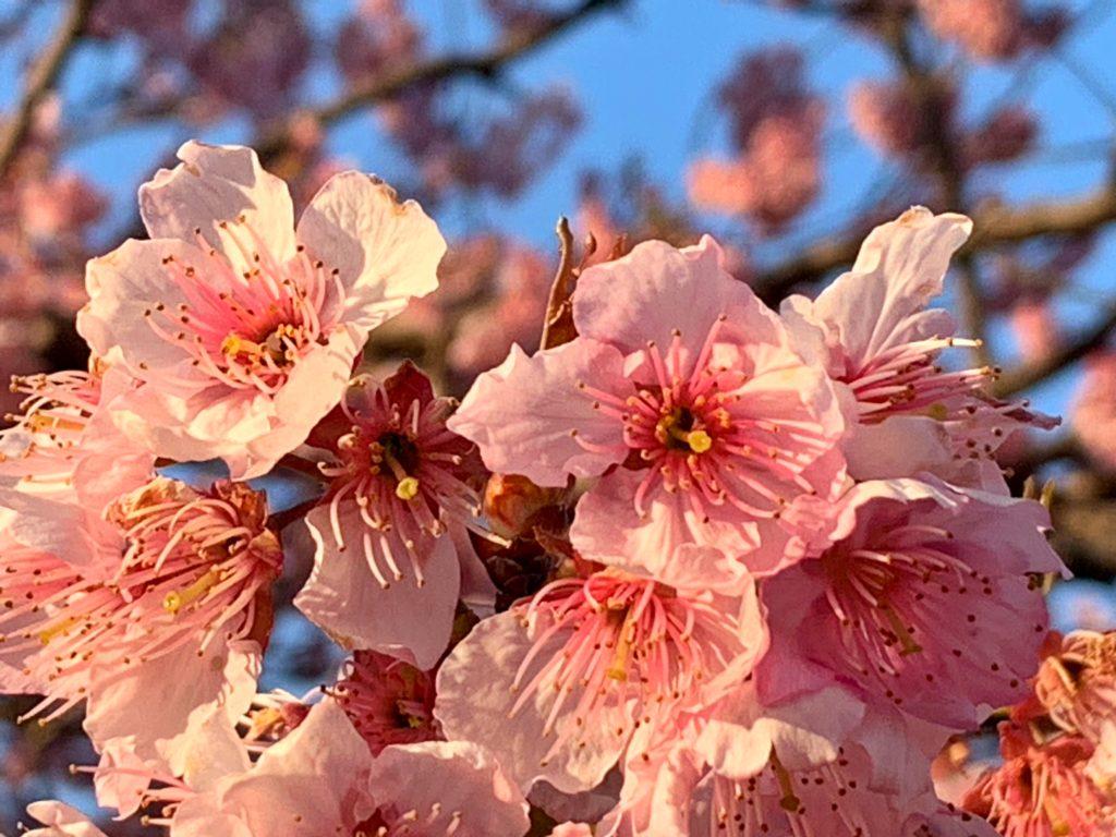 滋賀の河津桜